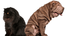 Black cat and a wrinkly dog